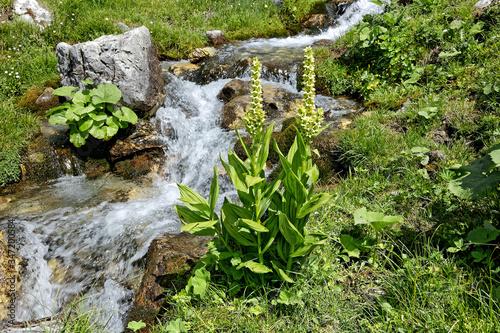 Fotografija Bergblumen, blaß gelbe, hochstiellige Pflanze, Alpen