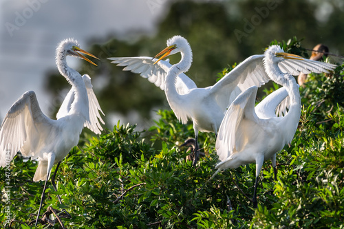 Photo A trio of great white egrets having an apparent discussion gesticulating with outstretched wings