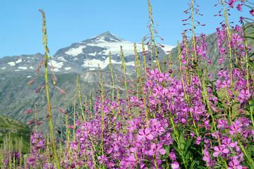 Bergblumen, Schmalblättriges Weidenröschen, Epilobium angustifolium, Alpen