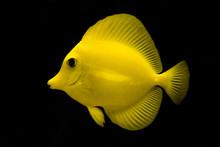 Close-up Of Yellow Fish In Aquarium Against Black Background