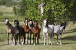Panoramic view of herd of horses while running home on rural animal farm