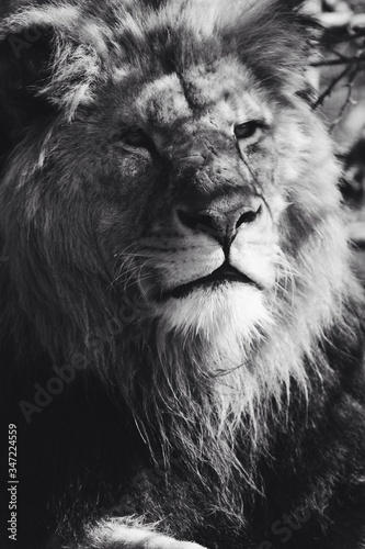 Fototapety, obrazy: Close-up Of Lion In Zoo