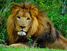 Portrait Of Lion Resting On Field