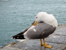 Close-up Of Seagull Preening On Retaining Wall Against Sea
