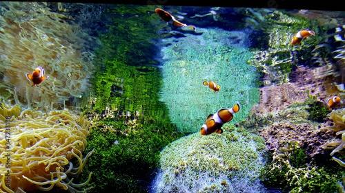 Fotografering Clownfish Swimming In Aquarium