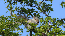 Grey Squirrel Searching For Fo...