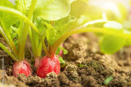 Radish grows in the ground, almost ripe Slika na platnu