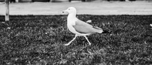 Seagull Walking On The Grass, Movement, Black And White