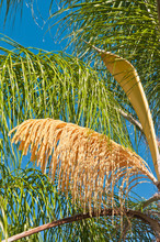 Front View, Far Distance Of A Palm Tree With It's Seed Pod Owned And The Yellow Seeds In The Open For Fertilization,  On A Sunny, Spring Day