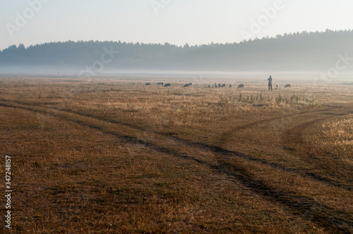 The cattleman and sheep that pasturing in the meadow of brown color far away Fototapet