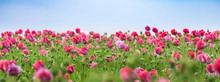 Close-up Of Pink Tulips Blooming On Field Against Clear Sky