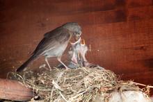 Close-up Of Bird Feeding Chicks On Nest