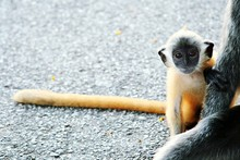 Close-up Of Silvery Lutung