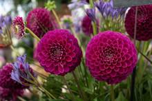 Purple Dahlias At Chelsea Flower Show