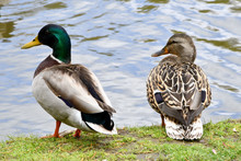 Two Ducks Facing A Pond