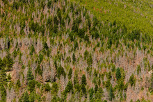 The Mountainside Is Punctuated With Dead Pines From The Mountain Pine Beetle Within Rocky Mountain National Park, Colorado.