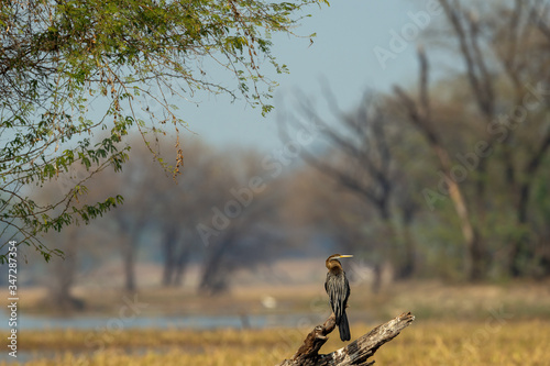 Valokuva Oriental darter or Indian darter perched on branch in beautiful green background
