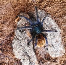 Tarantula Crawling. A Green Bo...