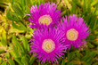canvas print picture - Three magenta ice plant flowers in bloom as seen from above.