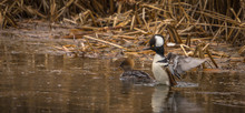 Hooded Merganser At The Pond U...