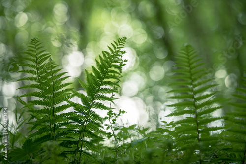 Fern in the forest ambient Light through the trees Canvas Print