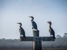 Cormorants Standing Still