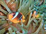 Clownfish,  anemonefish, red sea fishes