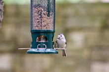 Tufted Titmouse Bird On Backyard Bird Feeder, Holdsing Seed In Mouth, Up Close, With Room For Text