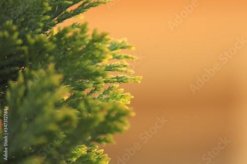 zielona  gałązka  iglaka  na  brązowym  tle Fototapeta