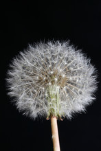 Wild Flower Taraxacum Officinale Dandelion Blowball Asteraceae Family Background High Quality Prints