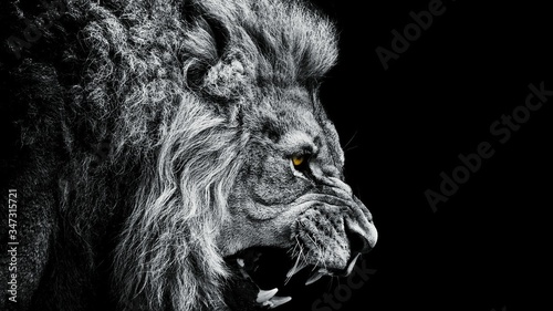 Fotografie, Obraz Close-up Of Lion Roaring Against Black Background