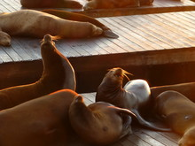 Seals Relaxing On Pier 39