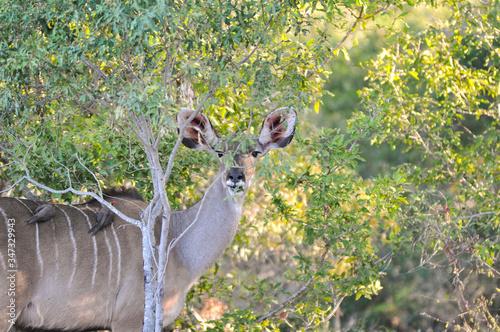 Photo Kudu By Plants At Kruger National Park
