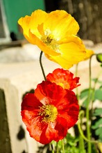 Vertical Closeup Shot Of Beautiful Red And Yellow Poppy Flowers