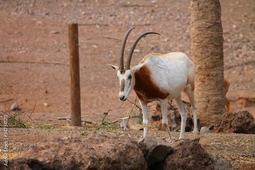 Cuadros en Lienzo Scimitar Oryx Walking On Field Against Tree
