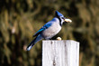 Blue Jay on top of a post eating a peanut