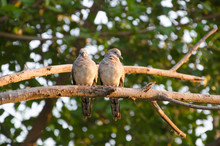Couple Zebra Doves On Branch I...