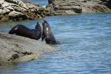 Seals Playing In The Lagoon