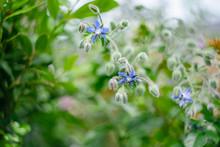 青い星のようなボリジの花