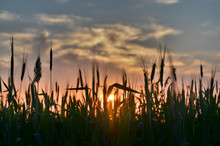 Close-up Of Silhouette Plants On Field Against Sky During Sunset