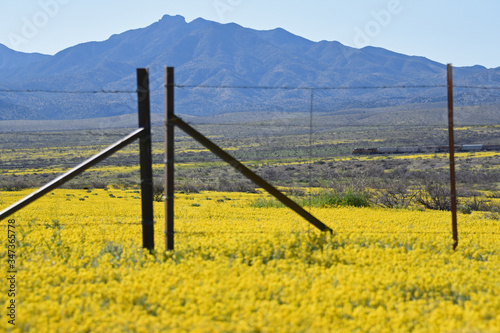 Yellow flowers in the spring in southern Arizona