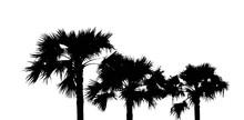 Top View Of Asian Palmyra Palm...