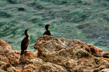 High Angle View Of Cormorants On Rock At Sea Shore