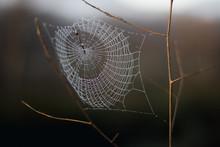 Spider Web Full Of Dew Drops