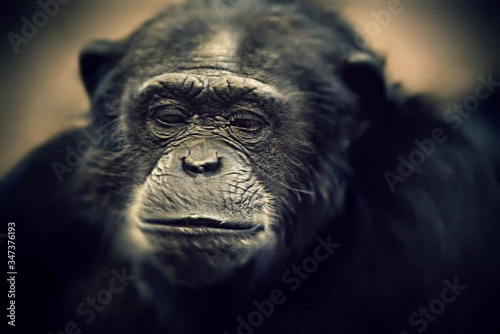 Canvas Print Close-up Of Chimpanzee