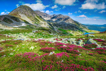 Flowery Slopes With Pink Rhodo...