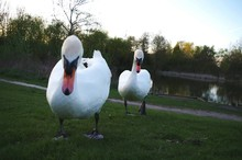 Swans On Grassy Lakeshore During Sunset