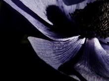 Close-up Of Purple Coneflower At Night