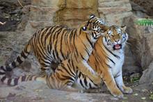 Tigers Against Rocks