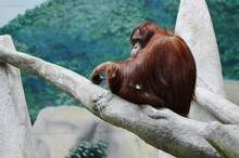 Orangutan Resting On Tree In Zoo